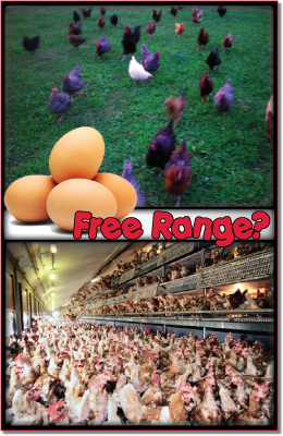 Photos of Free range chicken and eggs at OTransformation.com in Raleigh, NC